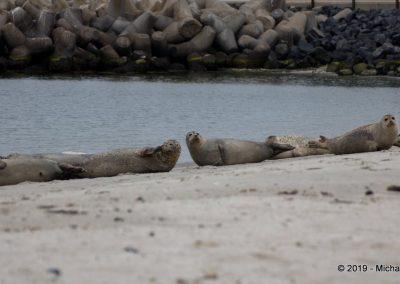 Kegelrobben am Strand